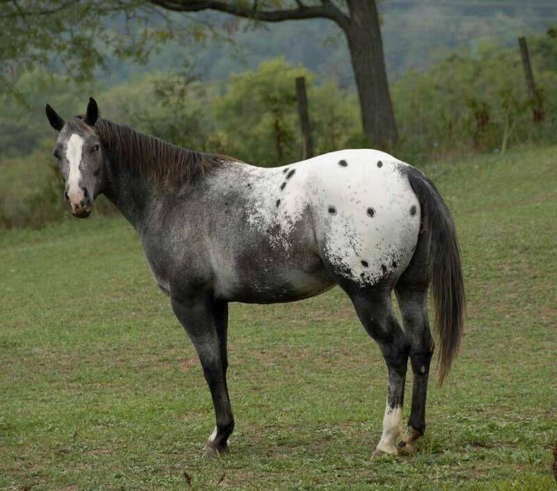 Roan Blanket Appaloosa Google Search Appaloosa Horses