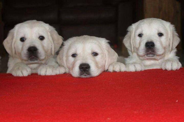Do re Mi Golden retriever, Holiday puppies, Golden