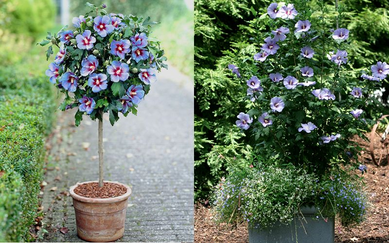 Blue Satin Rose Of Sharon Hibiscus Syriacus Is The Best Strongest Growing Blue Variety Of Rose Of Rose Of Sharon Tree Rose Of Sharon Plants For Sale Online