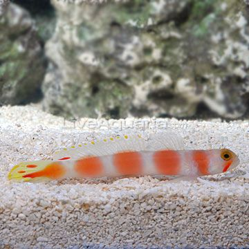 Pink Bar Goby He Nestles With My Other Tiny Goby Marine Aquarium Fish Aquarium Fish Marine Aquarium