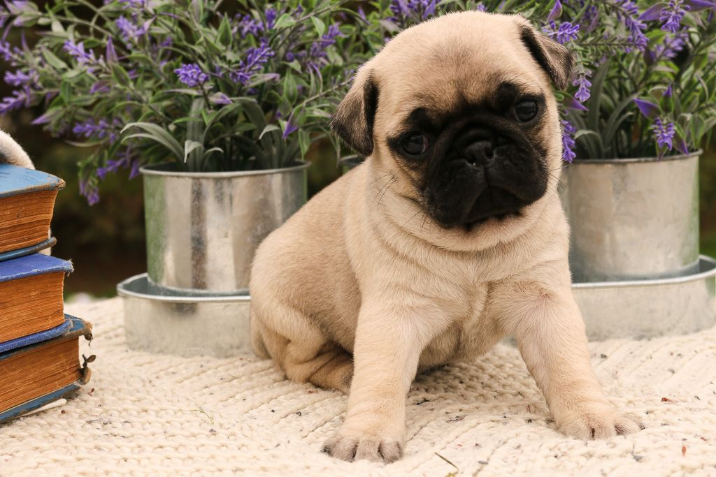 Puppies For Sale Pug Puppies Dog Breeder Lancaster Puppies
