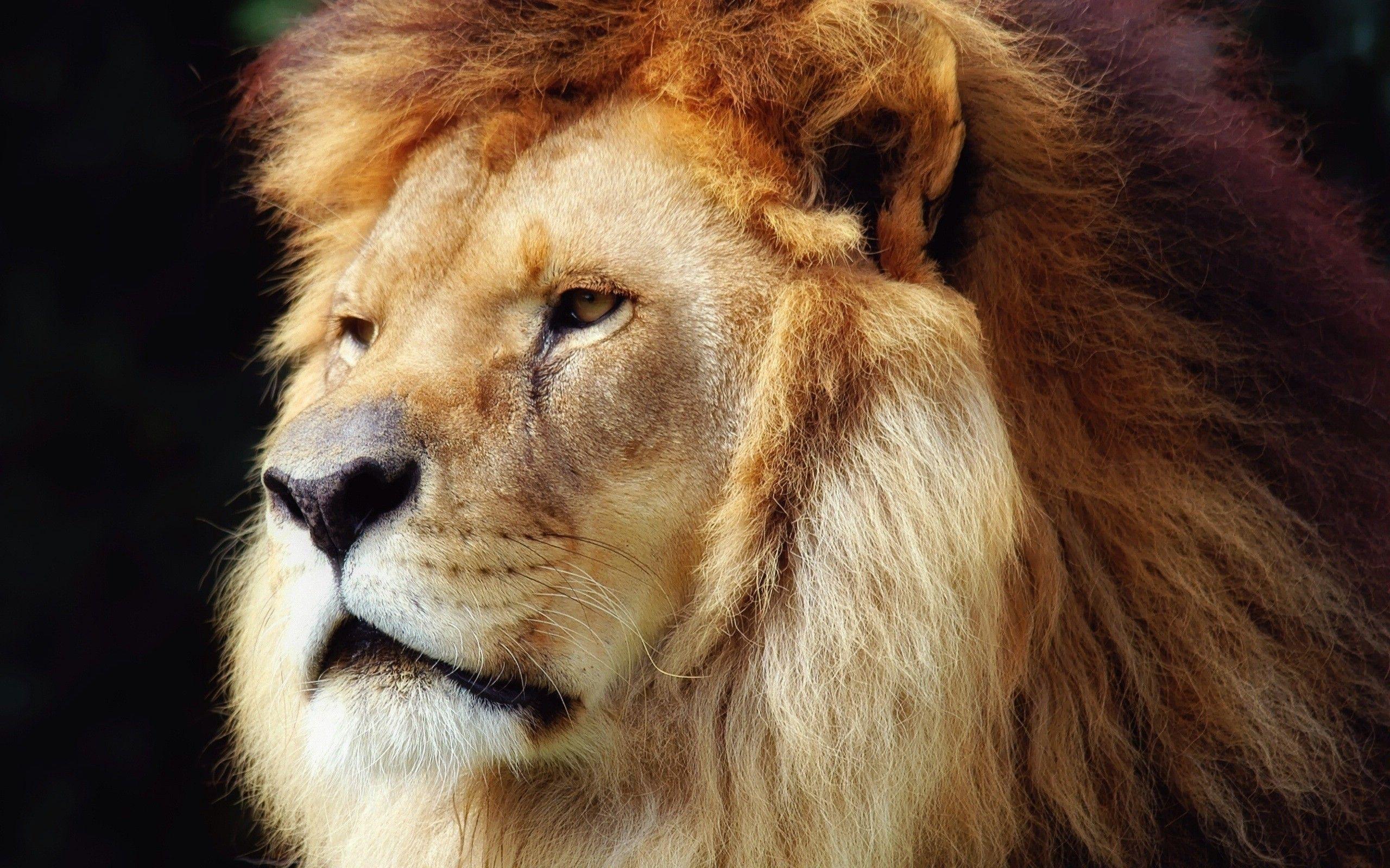 Hd wallpaper lion - Lion Hd Wallpaper Free Download
