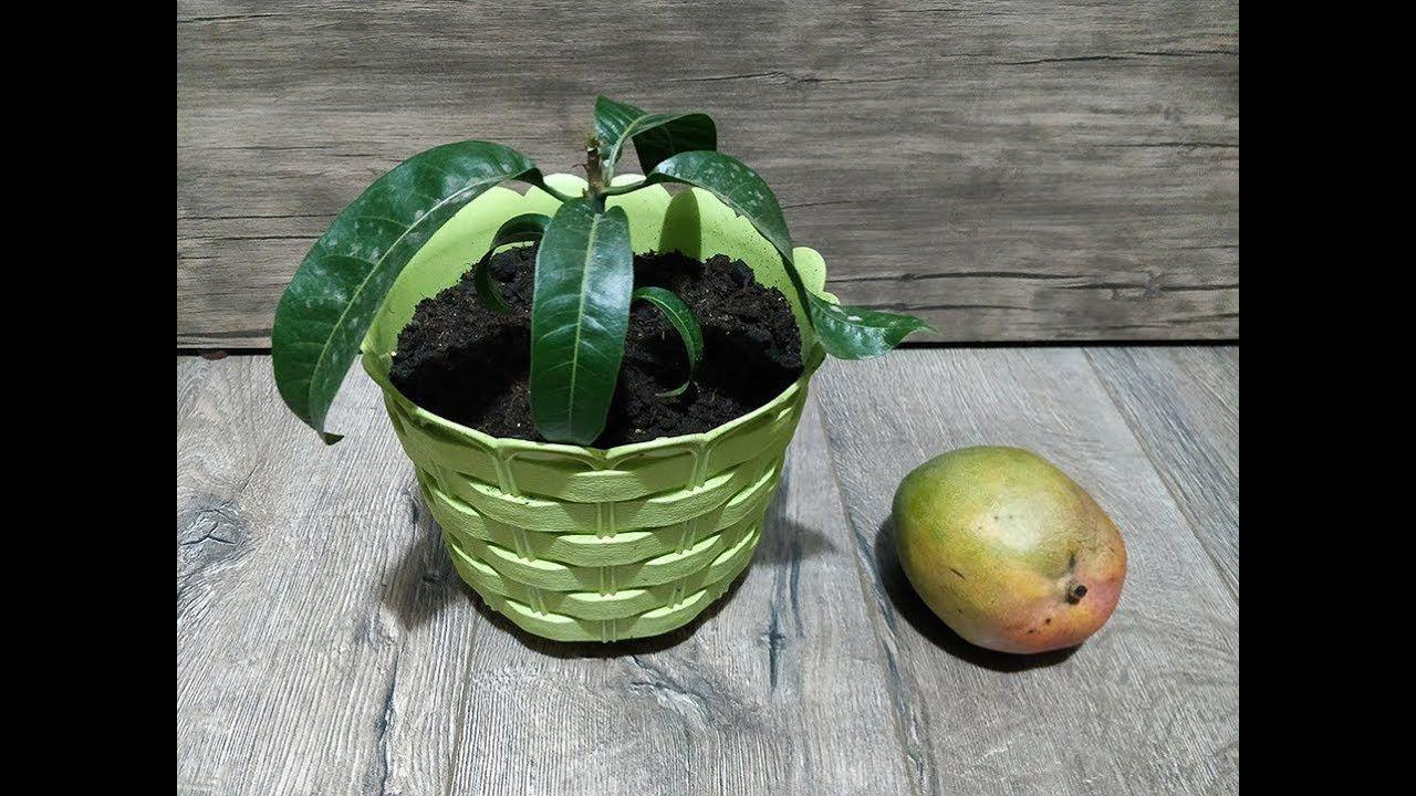 طريقة زراعة المانجو من البذرة فى المنزل How To Grow A Mango Tree From Seed Youtube Vegetable Garden Garden Planter Pots