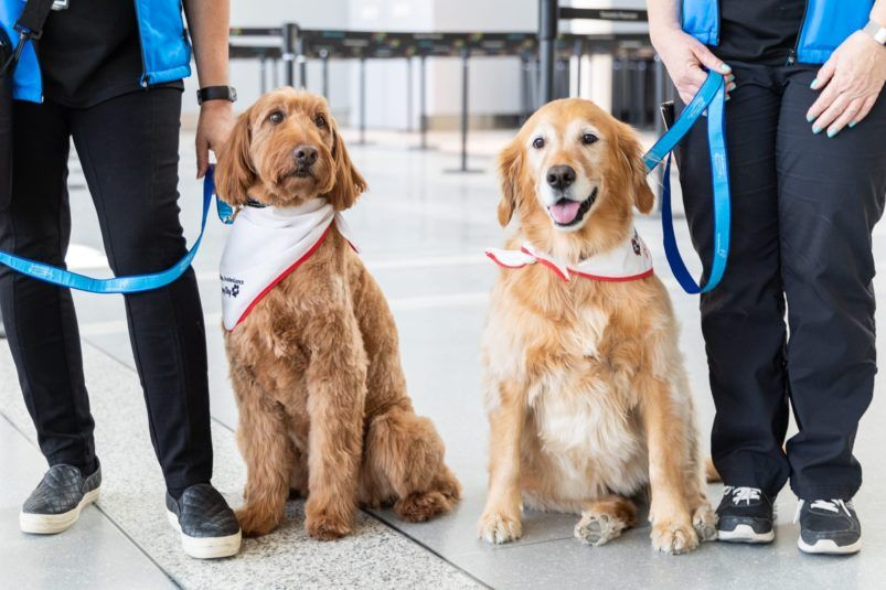 Meet Pearson Airport S New Therapy Dogs Therapy Dogs Therapy