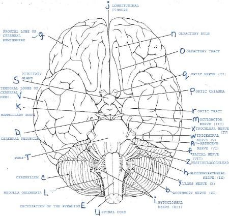 Anatomy And Physiology Labeling Worksheets Cerebrospinal Fluid Flows From The Fourth Ventricle Into Gross Anatomy Cranial Nerves Human Anatomy And Physiology