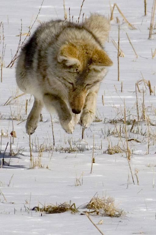 This Coyote Should Be Named Prancer - Taken at Rocky Mtn National Park