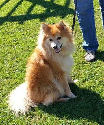Check out Hercules' profile on AllPaws.com and help him get adopted! Hercules is an adorable Dog that needs a new home. https://www.allpaws.com/adopt-a-dog/pomeranian/3375352?social_ref=pinterest