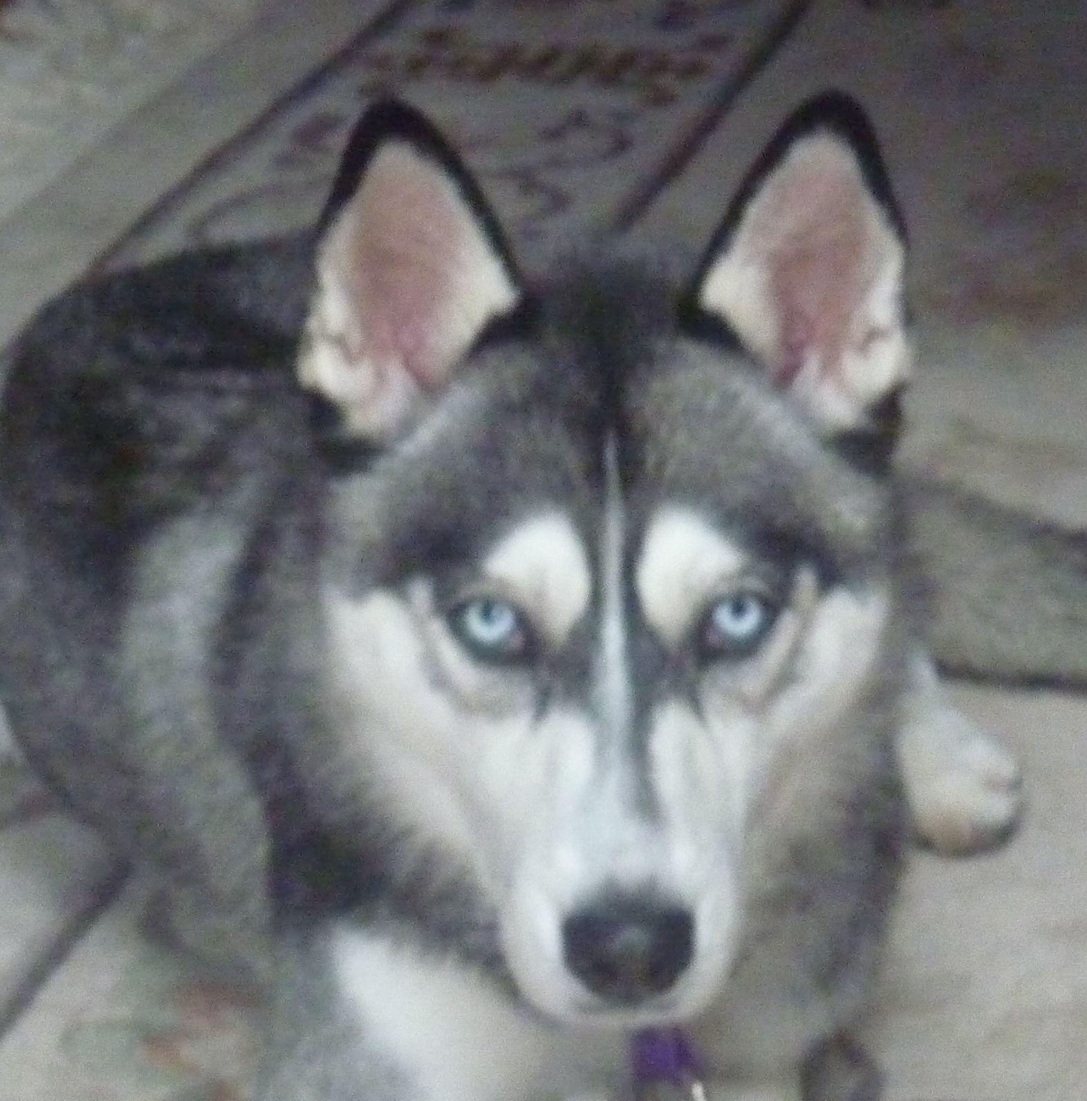 Siberian Husky dog for Adoption in Campbell, CA. ADN-460819 on ... | Siberian Husky Puppies Bakersfield Ca