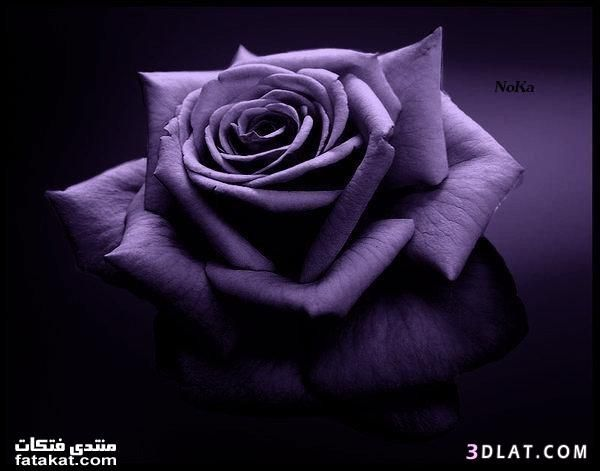 ورد بنفسجي رائع للتصميم صور ورد بنفسجي للتصميم Purple Roses Wallpaper Purple Roses Beautiful Flowers Wallpapers