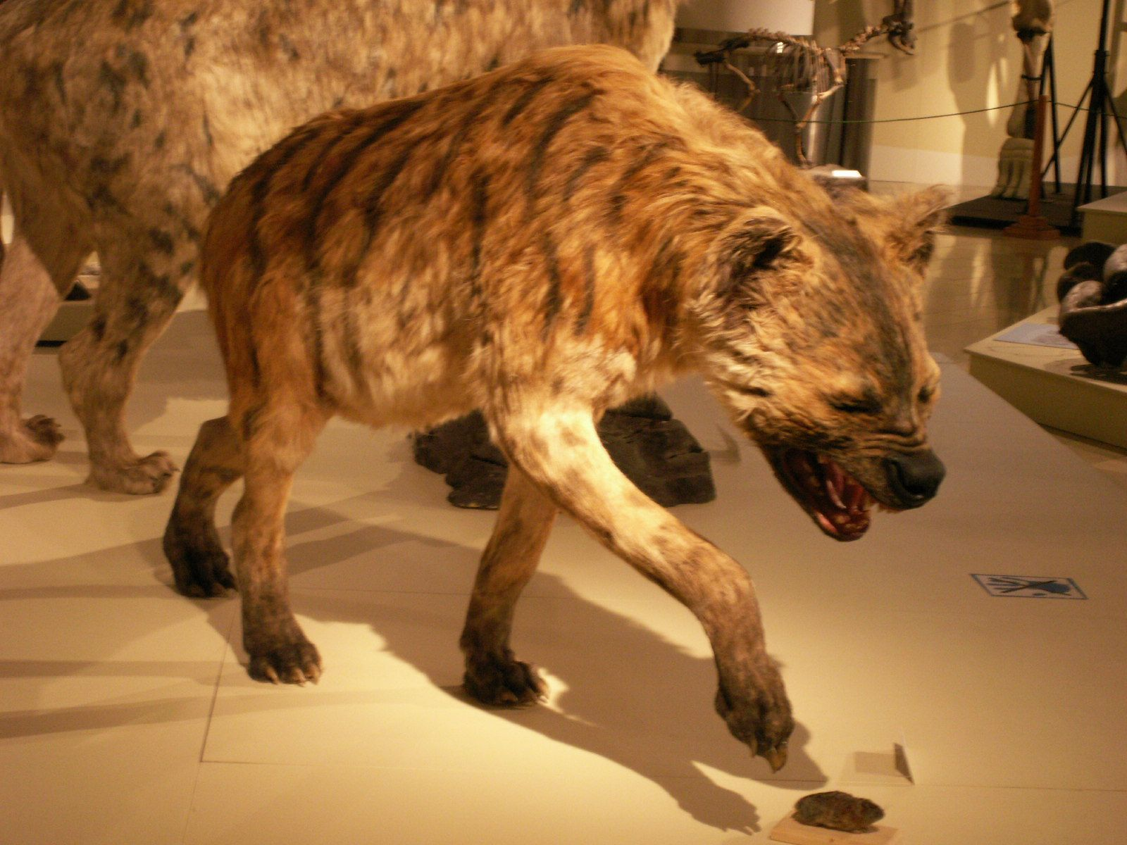 this is a prehistoric hyena that lived over 2 million years ago