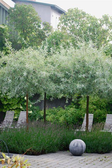 Silver pear trees underplanted with lavender texture colour landscape garden pinterest - Gartenpflanzen straucher ...