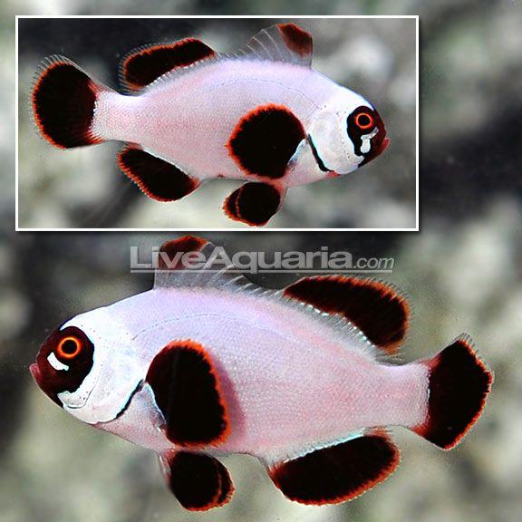 Ora Gold Nugget Maroon Clownfish Saltwater Aquarium Fish Marine Aquarium Fish Aquarium Fish