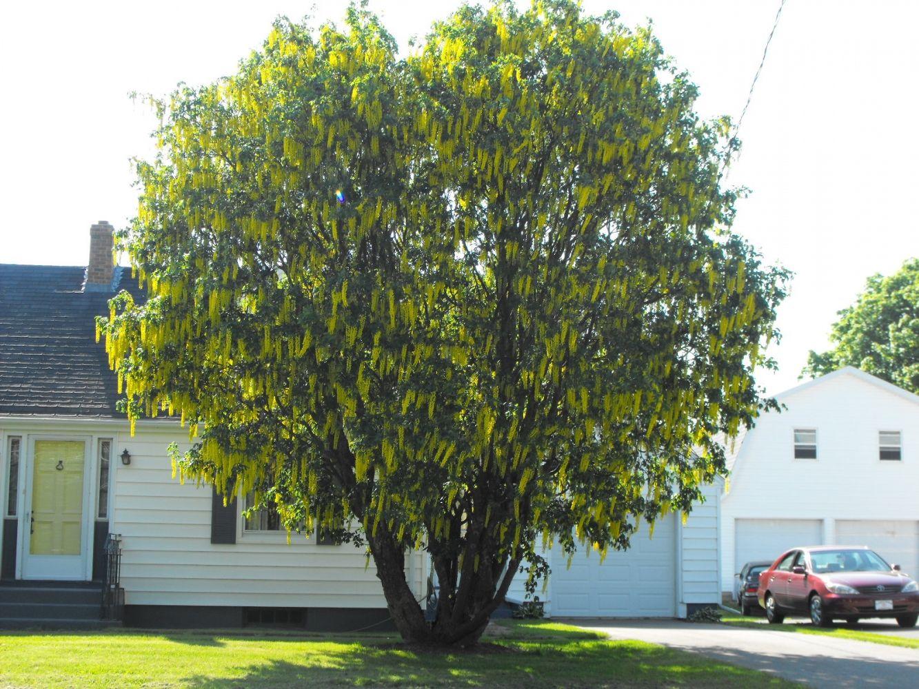 Golden Chain Tree ornamental trees | My Secret Garden ✿ | Pinterest ...