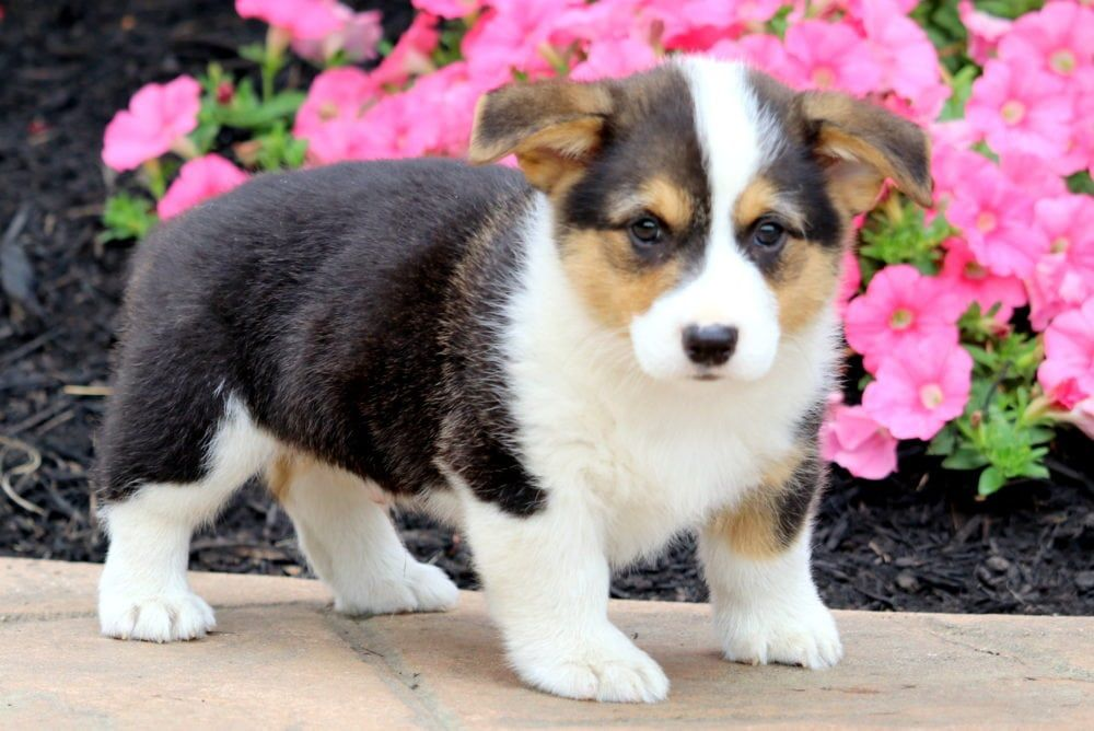 Waffles Welsh Corgi Puppies Corgi Puppies For Sale Corgi