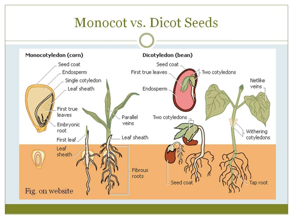 Monocot Vs Dicot Enviro Plant Science Seed Germination