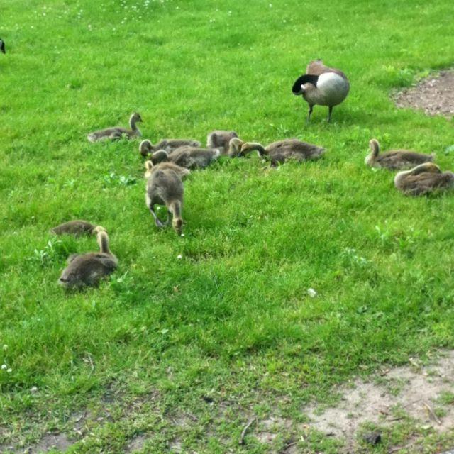 Goslings :)
