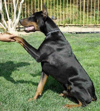 The Doberman Pinscher Always Receives Awesome Reviews From