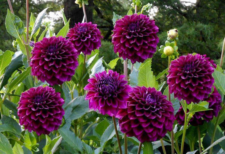 September 2015 Purple Dahlia Flower Farmer Dahlia
