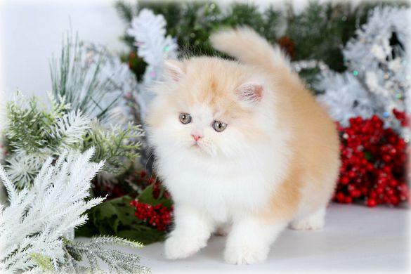 Past Kittens Sold Kittens Kittens Already In Their New Forever Homes Persian Kittens Teacup Persian Cats Kittens Himalayan Kitten