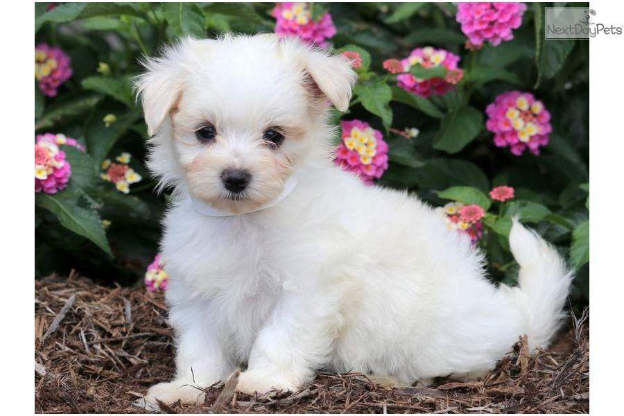 Glitter Maltese Puppy For Sale Near Lancaster Pennsylvania
