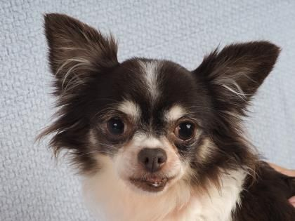 Adopt Fairy A Lovely 6 Years 4 Months Dog Available For Adoption At Petango Com Fairy Is A Chihuahua L Small Dog Adoption Chihuahua Dog Adoption