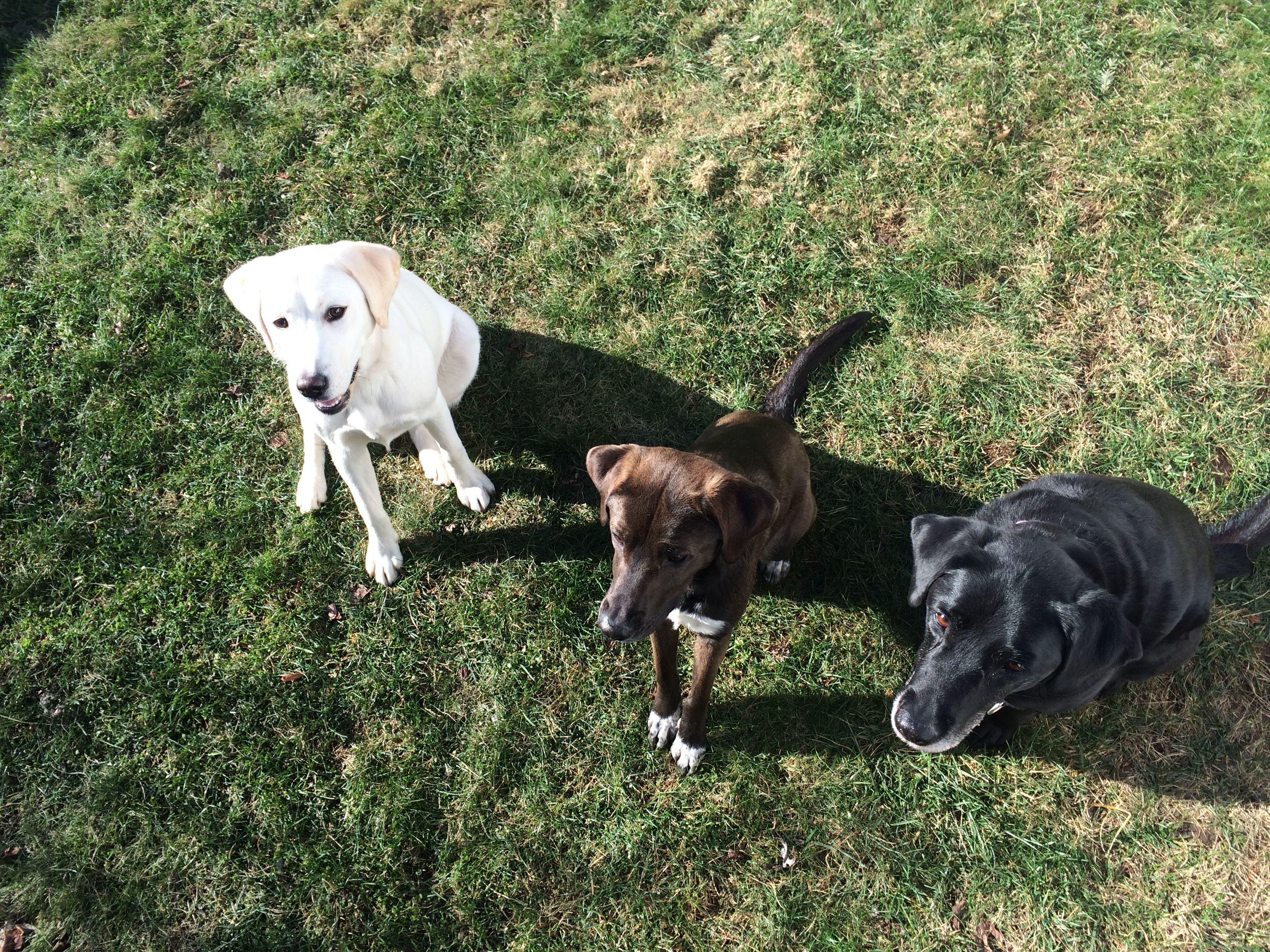 The Labrador Trio <3 From Left To Right: Vita ; Laney ; Maya <3   Super successful Labrador Retriever training sesh with C <3