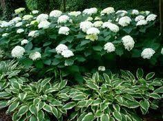 Image Result For Companion Plants For Annabelle Hydrangea Hydrangea Garden Hydrangea Landscaping Garden Shrubs