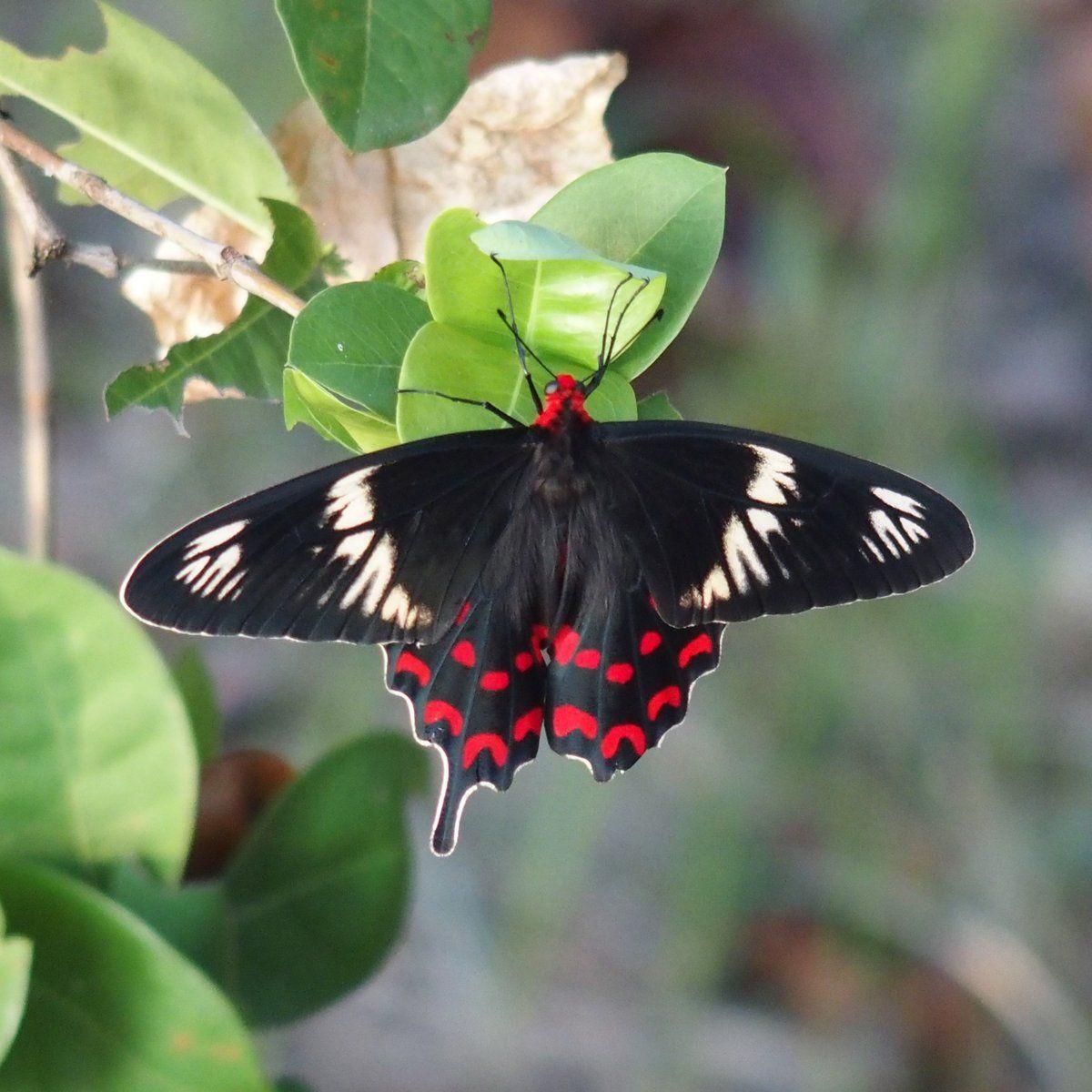 The Crimson Rose, Pachliopta hector, flies year round in