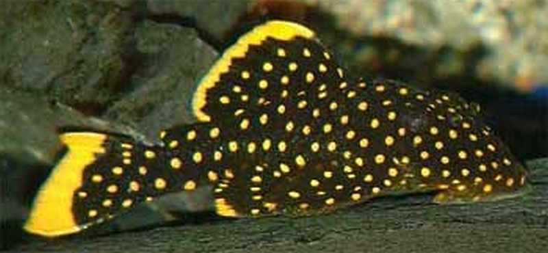 Gold Nugget Plecostomus For Sale