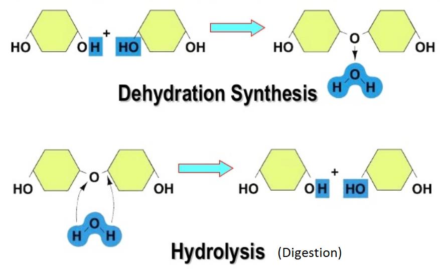 Dehydration Synthesis    Hydrolysis