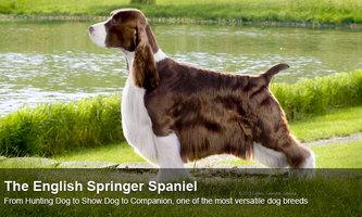 Field Vs Bench Bred English Springer Spaniel Springer Spaniel English Springer English Springer Spaniel