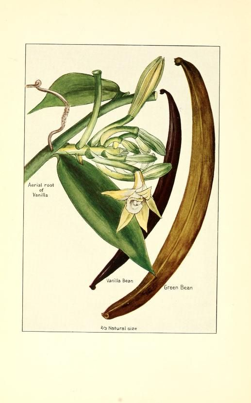 Spices Their Nature And Growth The Vanilla Bean A Talk On Tea Mccormick And Company Baltimore From Old Catalog Free Download Borrow And Streaming Botanical Prints Botanical Illustration Vanilla Plant