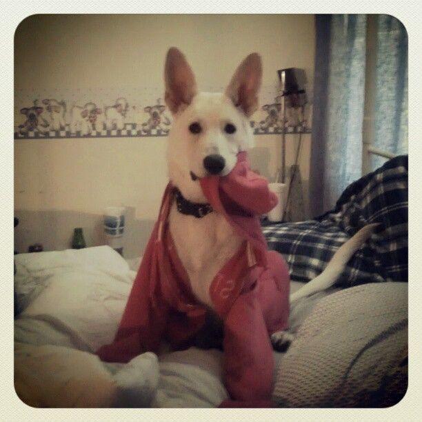 Cutest dog everrrrr. Wearing my sweatshirt