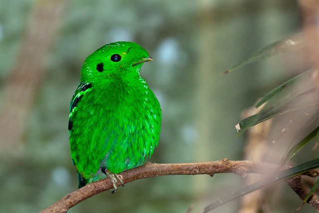 Lesser Green Broadbill Beautiful Birds Green Bird Pretty Birds