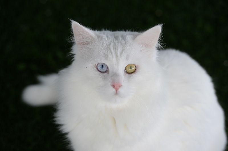 Turkish Angora Kittens For Sale Uk