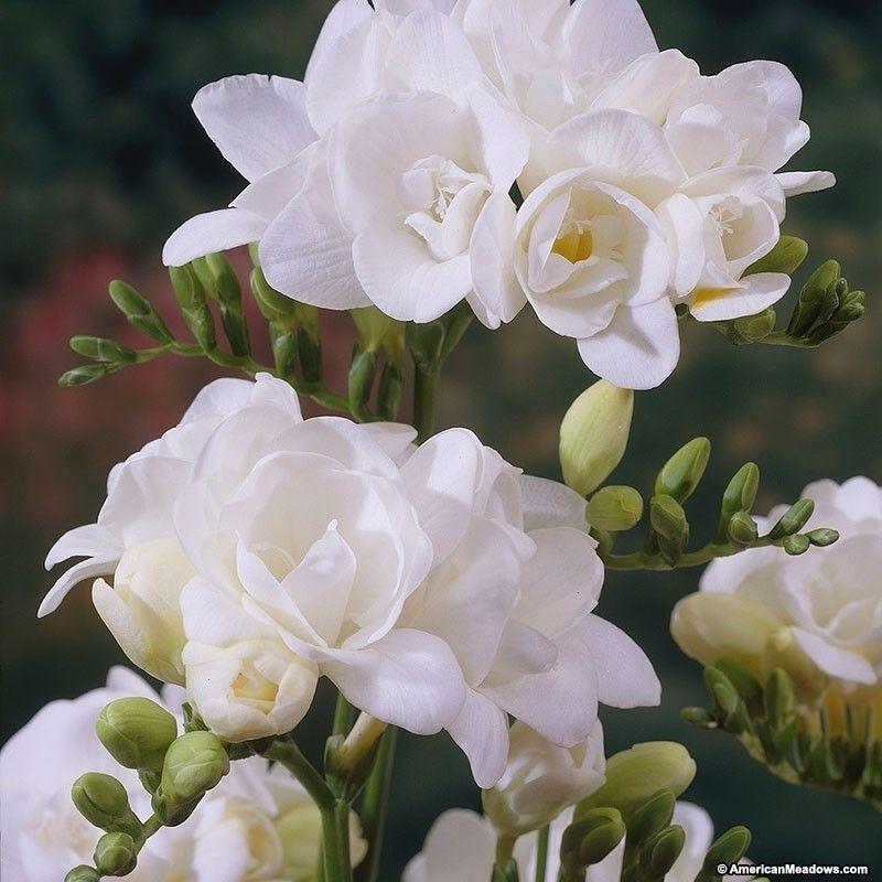 Double White Freesia 1000 In 2020 Freesia Flowers Spring Flowering Bulbs Bulb Flowers