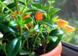Goldfish Hanging Plant Nematanthus Orange Flowers Houseplant 2 Rooted Cutting