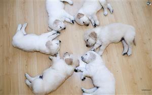 Dogs HD Wallpaper #156