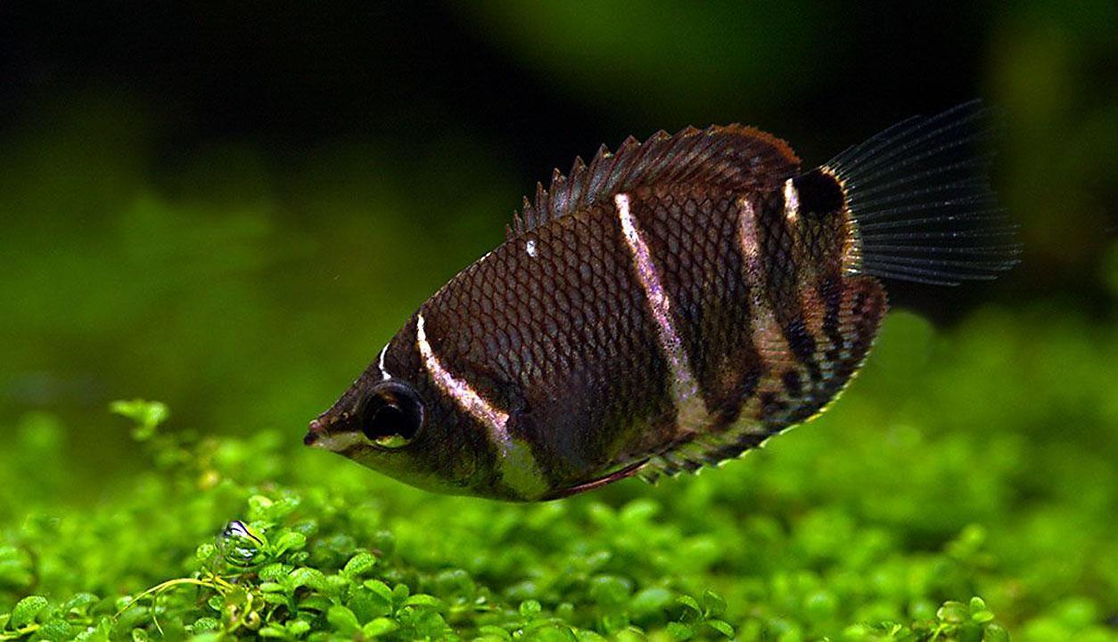 Free Wallpaper Sphaerichthys Osphromenoides Tropical Fish