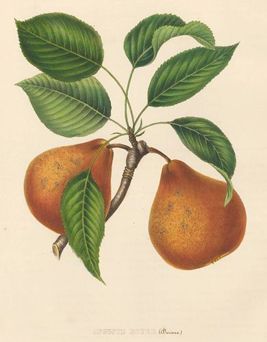 Commission Royale de Pomologie.Annales de Pomologie.This plate: Auguste Royer pear .Brussels: F. Parent, 1853-1860.Original hand-colored lithograph.Sheet size approx. 14 x 10 3/4 in.