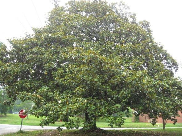 There Are Different Problems And Diseases That Can Affect A Magnolia