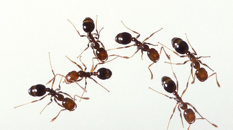 What Is That Ant Identify Common Types Get Rid Of Ants Types
