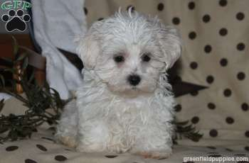 Reviews Testimonials Greenfield Puppies Puppy Pictures