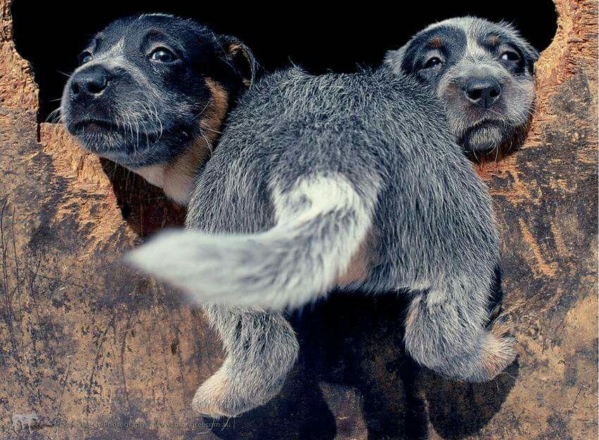 Goofy Pups Aussie Cattle Dog Cattle Dogs Rule Blue Heeler Puppies
