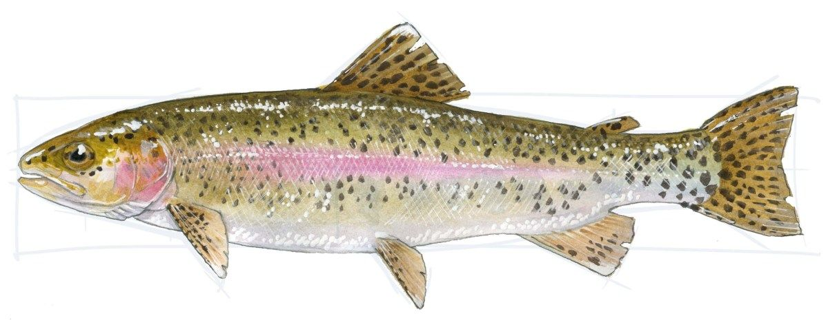 How To Draw A Trout Step By Step Fish Drawings Trout Painting