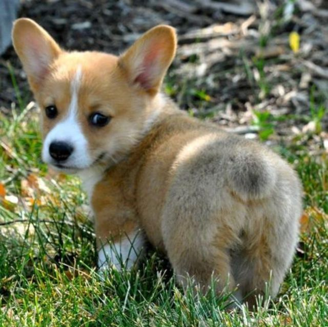 25 Puppies That Will Give You Feels Cute Puppies Cute Corgi