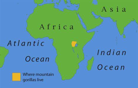 Mountain Gorilla | Mountain Gorillas | Mountain gorilla, Mountains