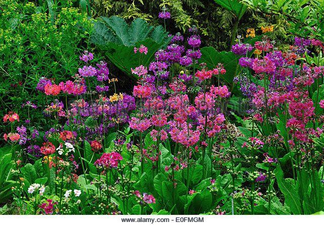 2 X LITRE POTS  TRIFOLIUM  RUBENS RED FEATHERS CLOVER PERENNIAL PLANTS BORDER