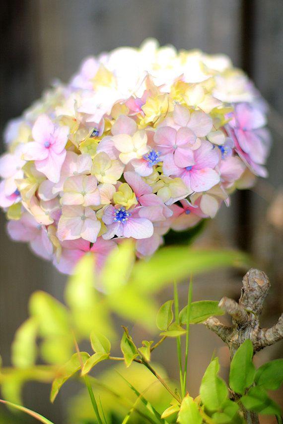 Hydrangeas Beautiful Summer Flowers Photo By Mademoiselle Mermaid 7 00 Flower Photos Summer Flowers Hydrangea Flower