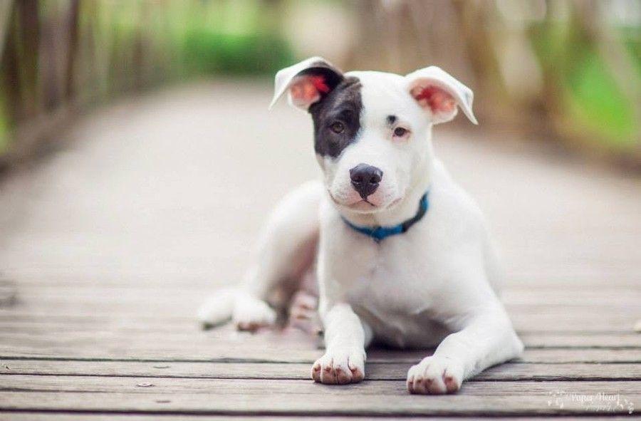 Thomo Bull Arab Mix Bull Arab Dog Dog Waiting Dog Breeds